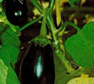 Vdb Pro Seeds Hybrid Eggplant