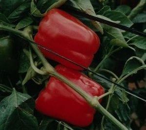 VDB Pro Seeds Hybrid San Diego F1 Red Sweet Pepper